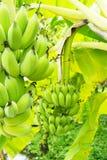 Plátanos verdes en árbol Imágenes de archivo libres de regalías