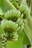 Plátanos verdes en árbol Imagen de archivo