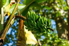 Plátanos verdes en el árbol Fotos de archivo libres de regalías