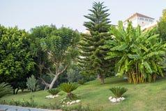 Plátanos verdes en el árbol en el jardín imagen de archivo