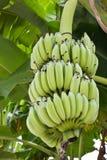 Plátanos verdes en un árbol Imagen de archivo