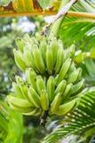 Plátanos verdes que crecen en árbol Fotos de archivo libres de regalías
