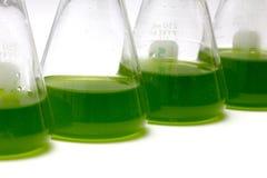Plâncton ou cultura marinha dos Microalgae na garrafa de Erlenmayer dentro fotografia de stock royalty free