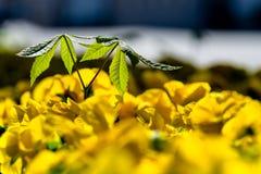 Plântula da castanha entre flores dos pansies na mola imagens de stock royalty free