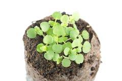 A plântula da hortelã do bálsamo ou os officinalis de Melissa com cotilédone dois verde e retificam as folhas no torrão do solo imagem de stock