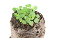 A plântula da hortelã do bálsamo ou os officinalis de Melissa com cotilédone dois verde e retificam as folhas no torrão do solo foto de stock royalty free