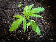 Plântula da marijuana Imagens de Stock