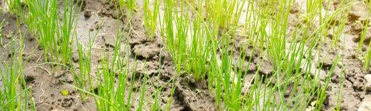 A plântula do alho poró cresce na estufa Vegetais org?nicos crescentes cultivar agricultura Sementes Close-up Foco seletivo bande imagem de stock royalty free
