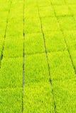 Plântula do arroz Imagens de Stock Royalty Free