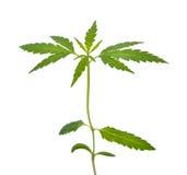 Plântula do cannabis Imagens de Stock Royalty Free