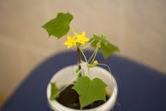 A plântula do pepino floresceu Fotografia de Stock Royalty Free