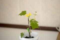 A plântula do pepino floresceu Foto de Stock Royalty Free