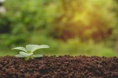 Plântula e planta que crescem no solo na natureza Imagem de Stock Royalty Free