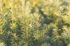 Plântula nova do pinheiro no jardim na luz da manhã Imagens de Stock Royalty Free
