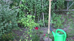 Plântula pequena da árvore, ferramenta da pá e lata molhando no jardim Zumbido para fora 4K vídeos de arquivo