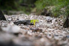 Plântula pequena que cresce no solo Imagem de Stock