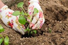 Plântula uma planta nas mãos da pessoa Imagens de Stock Royalty Free