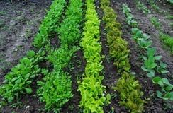 Plântula verde da alface no crescimento no jardim vegetal Fotos de Stock Royalty Free