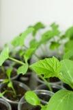 Plântula verde do pepino nos potenciômetros Fotos de Stock Royalty Free