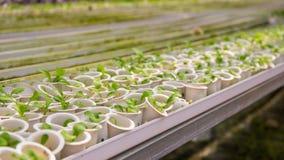 Plântula verde fresca nos potenciômetros brancos Planta crescente da semente Rebento da flor no potenciômetro plástico imagem de stock royalty free