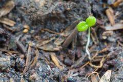 Plântula verde na terra Fotos de Stock Royalty Free