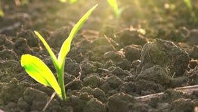A plântula verde nova crescente do milho do milho brota no campo de exploração agrícola agrícola cultivado vídeos de arquivo