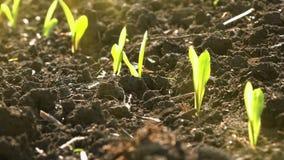 A plântula verde nova crescente do milho do milho brota no campo de exploração agrícola agrícola cultivado filme