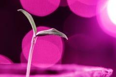 Plântulas crescentes sob lâmpadas artificiais especiais do diodo emissor de luz com um espectro favorável para plantas sem luz so fotografia de stock royalty free