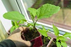 Plântulas da beringela em uns potenciômetros no peitoril da janela Prepara??o para a temporada de ver?o Jardinagem foto de stock royalty free