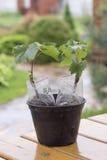 plântulas da uva com verde múltiplo das folhas Fotografia de Stock Royalty Free