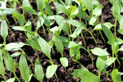 Plântulas densamente plantadas da pimenta que crescem dentro Fotografia de Stock