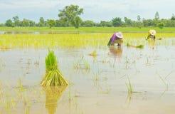 Plântulas do arroz Imagens de Stock