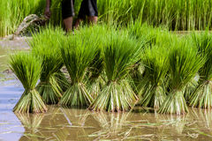 Plântulas do arroz Imagens de Stock Royalty Free