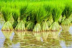 Plântulas do arroz Fotos de Stock Royalty Free