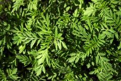 Plântulas do cravo-de-defunto, fundo verde, texturas, vista superior imagens de stock royalty free
