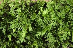 Plântulas do cravo-de-defunto, fundo verde, texturas, vista superior imagem de stock