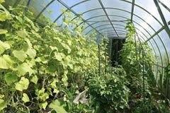 Plântulas do tomate das plantas novas em uma estufa imagens de stock royalty free