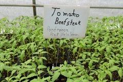 Plântulas do tomate do bife da herança do rosa de Ponderosa Imagem de Stock