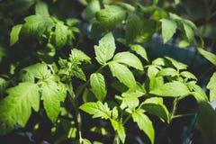 Plântulas do tomate na terra Imagem de Stock