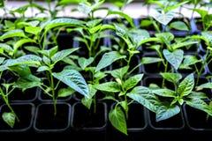 Plântulas do vegetal da planta da pimenta fotografia de stock royalty free