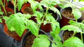 Plântulas dos tomates vídeos de arquivo