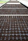 Plântulas em pasta que crescem em uma estufa Fotografia de Stock Royalty Free