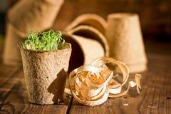 Plântulas em pasta que crescem em uns potenciômetros biodegradáveis do musgo de turfa no fundo de madeira Imagem de Stock