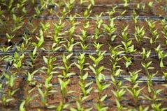 Plântulas frescas das pimentas Imagem de Stock Royalty Free