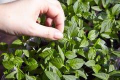 Plântulas na bandeja vegetal Imagens de Stock