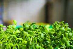 Plântulas novas do girassol nas cestas que crescem acima Fotografia de Stock