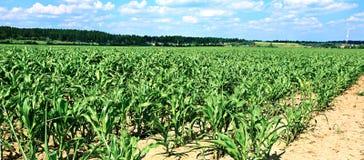 Plântulas novas do milho no campo Fotos de Stock Royalty Free