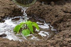 Plântulas pequenas da planta molhadas com água Foto de Stock Royalty Free