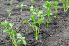 Plântulas recentemente plantadas do aipo e plântulas da pimenta no backg Foto de Stock