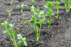 Plântulas recentemente plantadas do aipo e plântulas da pimenta no backg Imagem de Stock